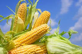 Desarrollan maíz con mayor valor proteico