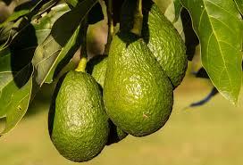 Резултат с изображение за avocado