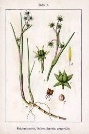 Scheuchzeriaceae - Wikipedia, la enciclopedia libre