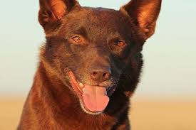 'Australia's favourite': <b>Red</b> Dog's true star dies