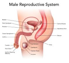essay on the mam an reproductive system words