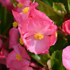 (Begonia '<b>Big Pink</b> Green Leaf') in Richmond Fairfax Loudoun ...