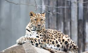 Amur <b>Leopard</b> | Species | WWF