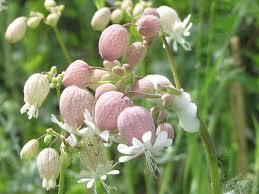 Silene vulgaris - Wikipedia