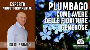 Plumbago: consigli per avere delle belle piante con generose fioriture