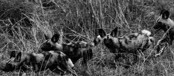 african wild dog an essay on an endangered species bundu mafasi copyroel van muiden wild dogs from wild population in klaserie private nature reserve