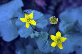 Ranunculaceae in Flora of North America @ efloras.org