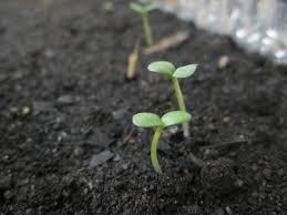 Image result for cara mengecambahkan benih