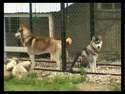 """Порода собак <b>Сибирский Хаски</b>. Программа """"Живой дом ..."""
