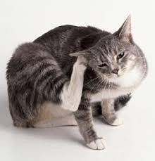 گوش گربه و انگل های مزاحم