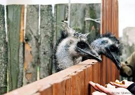<b>Экскурсия на страусиную ферму</b> — экскурсия на «Тонкостях ...
