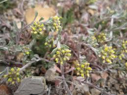 Alyssum alyssoides Calflora