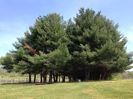 Image result for virginia pine trees beautiful