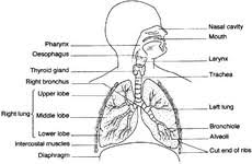 simple lung diagram   free photoshuman lungs diagram blank lung diagram