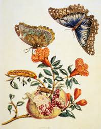 anna maria sibylia merian plate from the metamorphosis of the anna maria sibylia merian plate 9 from the metamorphosis of the insects of surinam