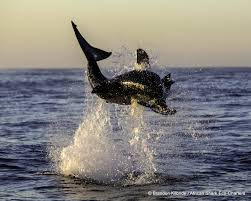 great white shark breaching can t wait to go back breaching great white shark clears the air at seal island false bay