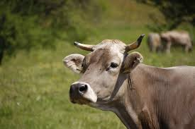 Image result for cow pictures