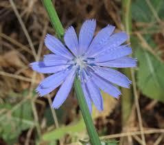 Cichorium intybus Calflora