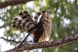 Image result for hawk preening