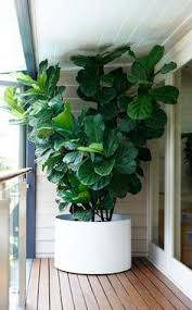 room plants x: ficus lyrata fiddle leafed fig one of garden lifes favourites great indoor