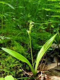 Liparis loeselii - Michigan Flora