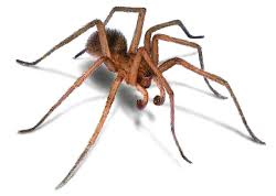 Hobo Spiders Identification and Facts: How to Get Rid of Hobo Spiders