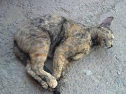 Resultado de imagem para gato envenenado