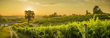 Image result for late summer vineyards met con