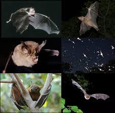 <b>Bat</b> - Wikipedia