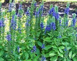 Image result for blue lobelia