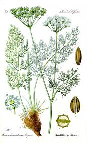 Meum athamanticum - Wikipedia