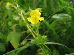 Mimulus michiganensis - Michigan Flora