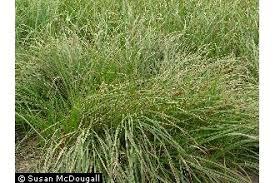 Plants Profile for Carex vesicaria (blister sedge)