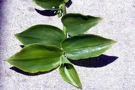 Tradescantia fluminensis Calflora