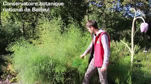 Asparagus officinalis - YouTube