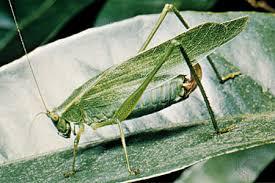 katydid   Description, Facts, & Sound   Britannica