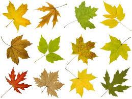 How to Identify <b>Maple</b> Tree Varieties | LoveToKnow
