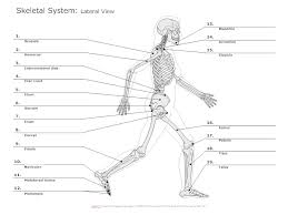 skeletal system diagram   types of skeletal system diagramslateral view skeletal diagram