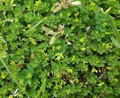 Slender Trefoil (Trifolium micranthum) · iNaturalist