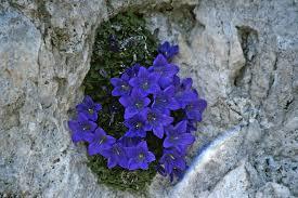 Campanula morettiana | A fine specimen of this alpine campan ...
