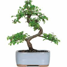 chinese elm bonsai tree bought bonsai tree