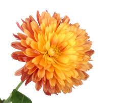 「chrysanthemum」的圖片搜尋結果