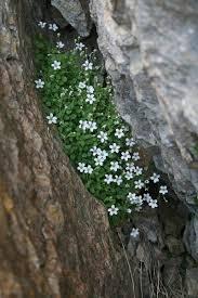 Arenaria bertolonii, flora di Sardegna