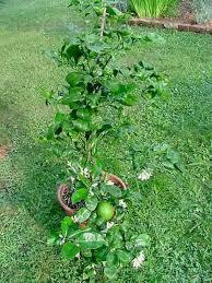 lemon tree x: plantfiles pictures meyer lemon tree meyers lemon tree valley lemon meyer citrus x meyeri by darius