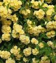 Images & Illustrations of banksia rose