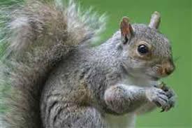 Image result for grey squirrels