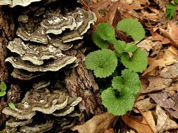 FDA Approves Bastyr <b>Turkey Tail</b> Trial for Cancer Patients | Bastyr ...