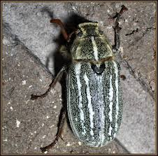Image result for junebug insect