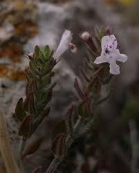 File:Micromeria microphylla Dingli Cliffs Malta 02.jpg - Wikimedia ...