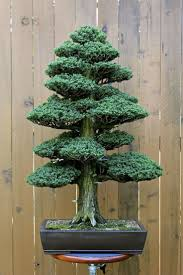 a powerful bonsai tree how cool would that be on your patio see more bonsai tree for office